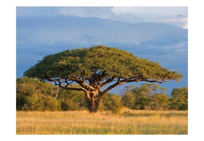 Fototapeta - Afrykańska akacja - Park Narodowy Hwange, Zimbabwe
