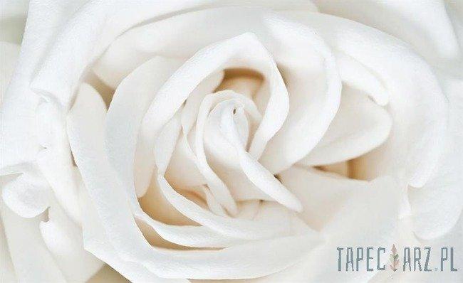 Fototapeta Biała róża 410