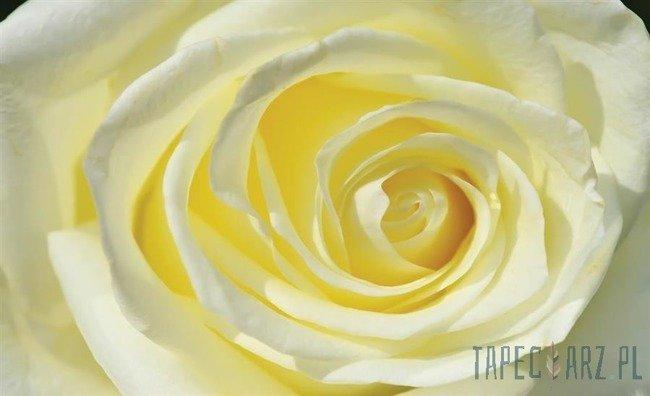 Fototapeta Biało-żółta róża 660