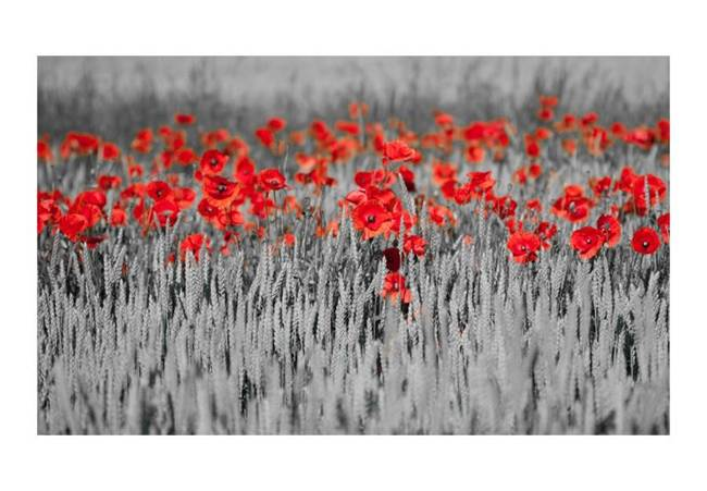 Fototapeta - Czerwone maki w czarno-białym zbożu