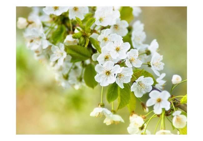 Fototapeta - Delikatne kwiaty wiśni