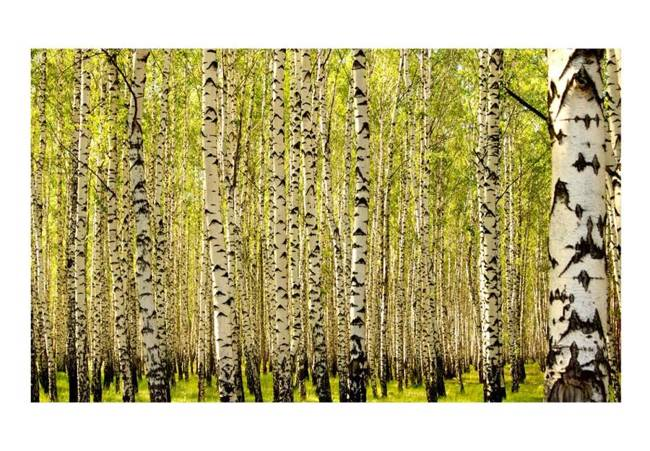 Fototapeta - Las brzozowy