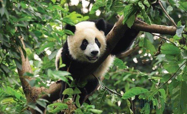 Fototapeta Panda 3398