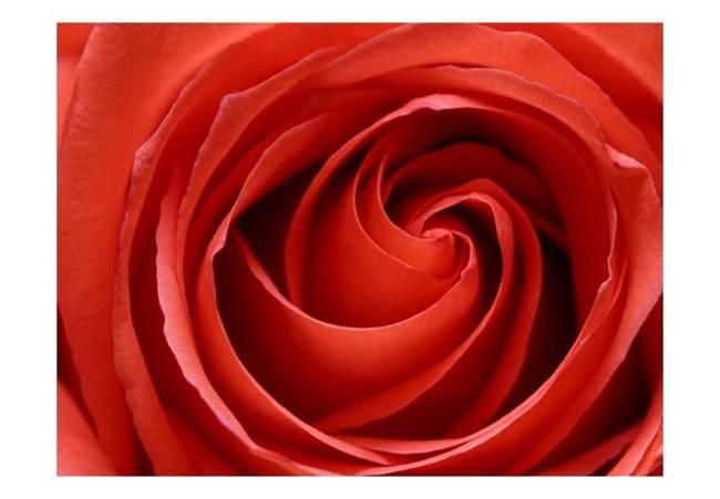 Fototapeta - Przebudzająca się róża