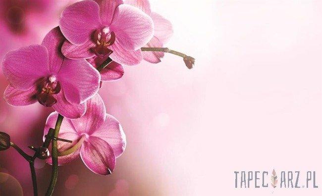 Fototapeta Różowy storczyk 1033