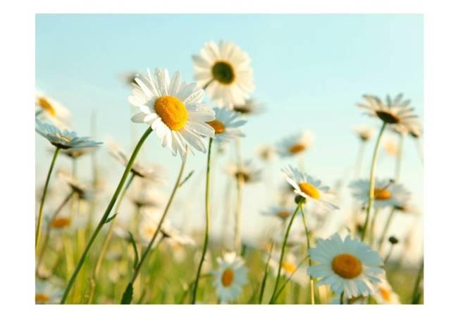 Fototapeta - Stokrotki - wiosenna łąka