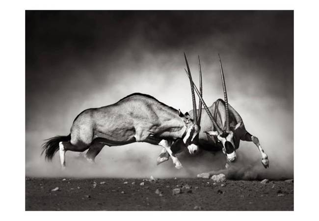 Fototapeta - Walczące antylopy