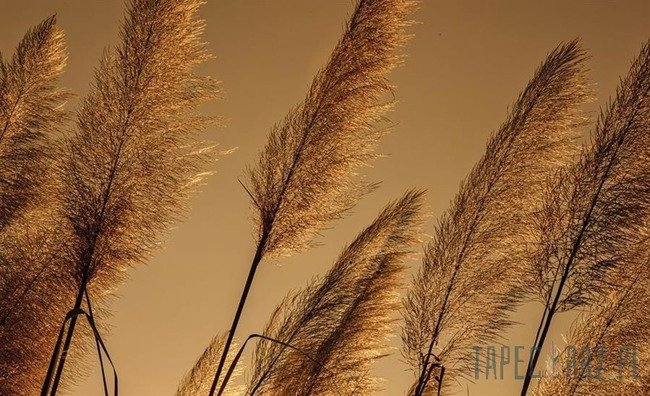 Fototapeta Źdźbła trawy o zachodzie słońca 1331