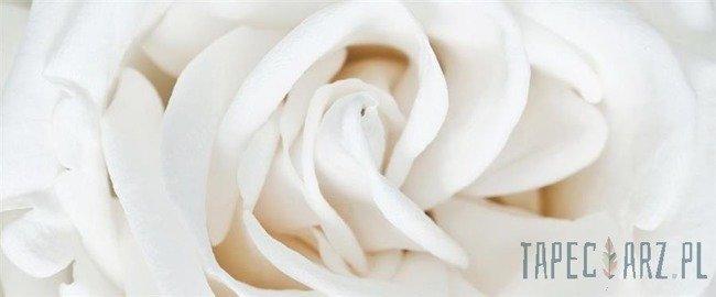 Fototapeta na flizelinie Biała róża 410VEP