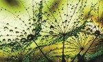Fototapeta Dmuchawce - zielone tło 1009