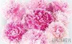 Fototapeta Różowe piwonie 1342
